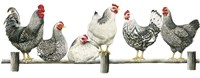 Hens, White Background Fine Art Print
