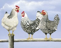 Three Black & White Hens Fine Art Print