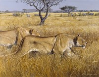 Hunting Lions Fine Art Print
