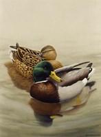 Mallard Fine Art Print