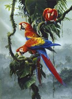Red And Yellow Macaws Fine Art Print