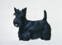 Scottish Terrier Fine Art Print