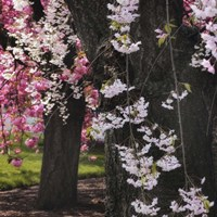 Japanese Cherry Fine Art Print