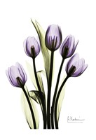 Regal Tulip B13 Fine Art Print