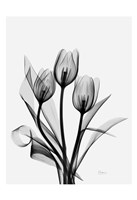Three Gray Tulips H14 Fine Art Print