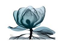 Midnight Magnolia 1 Framed Print