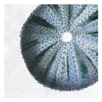 Urchin Shell 3 Fine Art Print