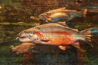 A Good Day to Be a Salmon Fine Art Print