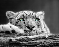 Pop of Color Snow Leopard Eyes Framed Print