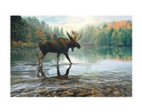 Moose Crossing Fine Art Print