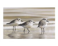 Sanderlings Fine Art Print