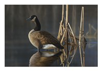 Greet the Sun - Canada Goose Fine Art Print