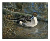 Pintail Drake Fine Art Print