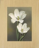 "Tulipani by Andrea Trivelli - 38"" x 45"""