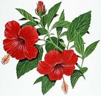 Red Hibiscus Fine Art Print