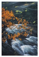 Abisko Autumn Birch Fine Art Print