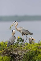 Great Blue Heron and Chicks Fine Art Print
