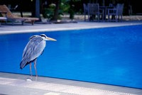 Big Blue Heron, Maldives Fine Art Print