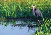 Great Blue Heron in Taylor Slough, Everglades, Florida Fine Art Print