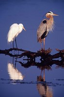Great Egret and Great Blue Heron on a Log in Morning Light Fine Art Print