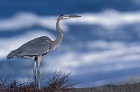Great Blue Heron, Half Moon Bay, California, Fine Art Print
