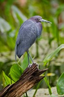 Little Blue Heron, Corkscrew Swamp Sanctuary, Florida Fine Art Print