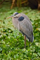 Great Blue Heron bird Corkscrew Swamp  Florida Fine Art Print