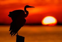 Silhouette of Great Blue Heron Stretching Wings at Sunset Fine Art Print