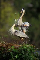 Great Blue Herons in Courtship Display Fine Art Print