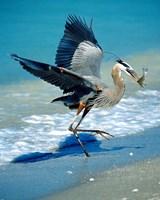 Florida Captiva Island Great Blue Heron bird Fine Art Print
