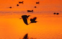 Great Blue Herons Flying at Sunset Fine Art Print