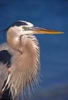 Great Blue Heron, Florida Fine Art Print