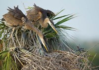 Great Blue Heron chicks in nest looking for bugs, Florida Fine Art Print