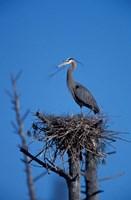 Great Blue Heron bird, Lubberland Creek, NH Fine Art Print