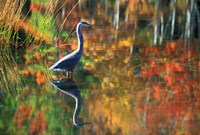 Great Blue Heron in Fall Reflection, Adirondacks, New York Fine Art Print