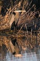 OR, Baskett Slough NWR, Great Blue Heron bird Fine Art Print