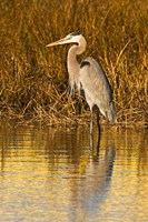 Great Blue Heron standing in Salt Marsh Fine Art Print