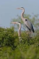 Great Blue Heron, pair in habitat, Texas Fine Art Print