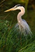 Great Blue Heron, stalking prey in wetland, Texas Fine Art Print