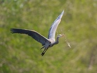Washington Great Blue Heron flies with branch in its bill Fine Art Print