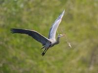 Washington Great Blue Heron flies with branch in its bill Fine Art Print