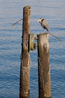 Great Blue Heron bird, Elliott Bay Fine Art Print