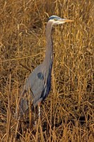 Washington, Seattle, Discovery Park Great Blue Heron Fine Art Print