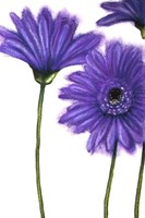 Purple Gerberas 1 Fine Art Print