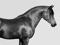 Orpheus, Arab Horse Fine Art Print