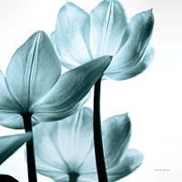 Translucent Tulips III Sq Aqua Fine Art Print
