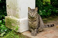 Mississippi, Columbus House cat at Waverley Plantation Mansion Fine Art Print