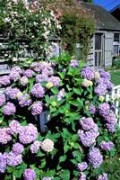 Massachusetts, Nantucket, Siasconset, Home Flowers Fine Art Print