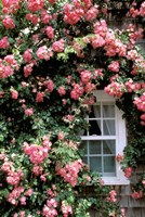 Massachusetts, Nantucket Island, Roses and home Fine Art Print