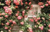 Roses and home, Nantucket Island Fine Art Print